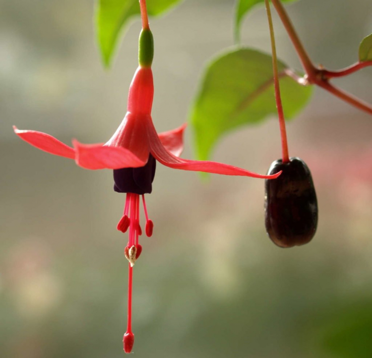 You can also easily harvest fuchsia seeds yourself