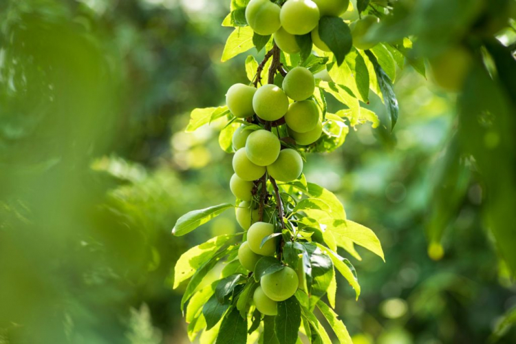 cherry plums are called Can-Erik