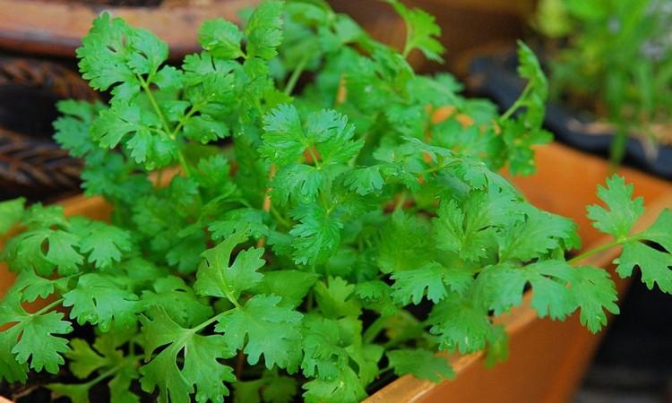 coriander healing properties
