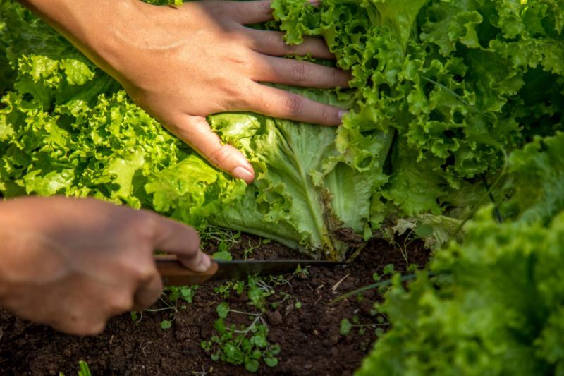 cut-plant-lettuce-harvest-time-and-procedure-2