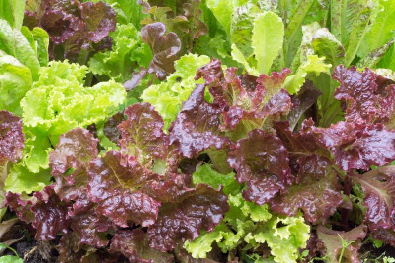 cut-plant-lettuce-harvest-time-and-procedure