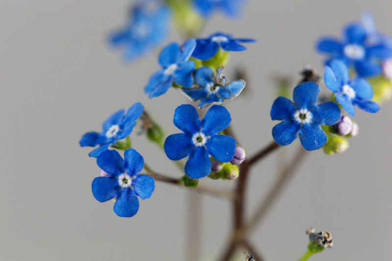 forget-me-not-experts-tips-to-buy-plant-care