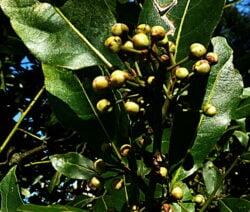 laurel-the-trefoil-loving-shrub-in-the-portrait