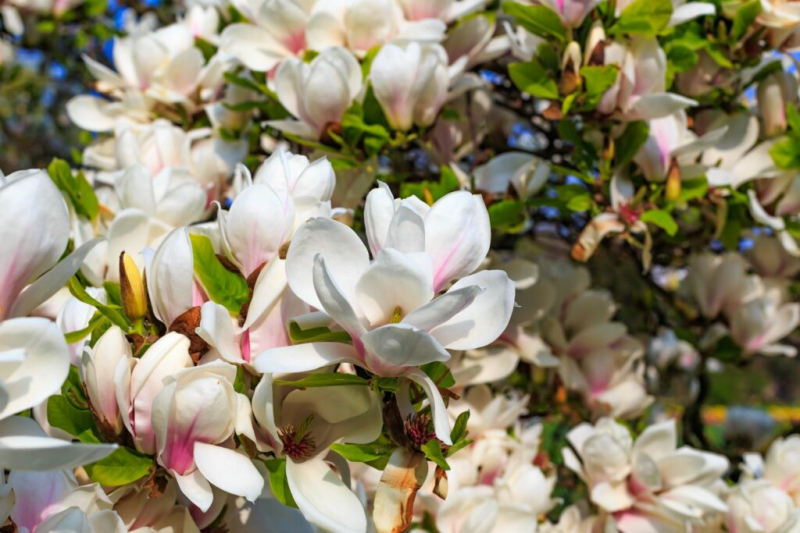 magnolia-dull-when-how-which-dull-longer