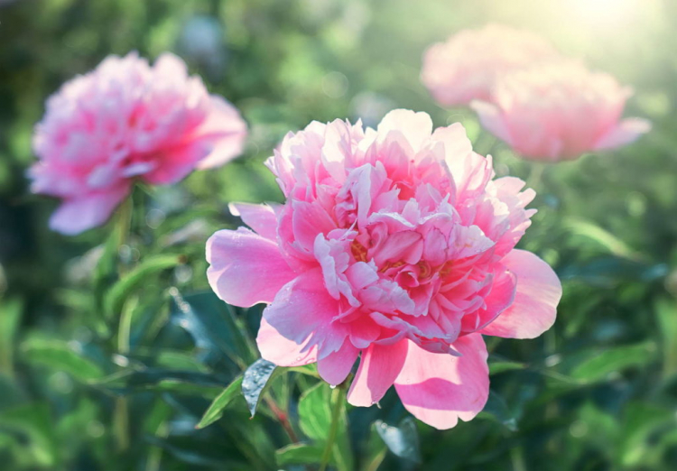 Peonies bloom from April to May