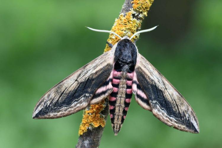 privete insect