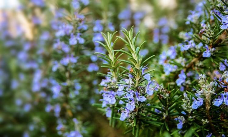 rosemary-as-a-medicinal-herb