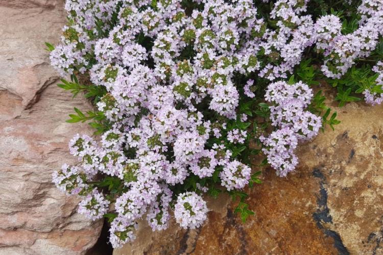sand thyme varieties bloom white