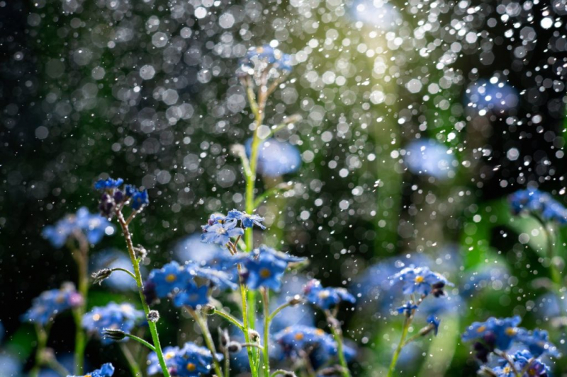 watering forget-me-nots