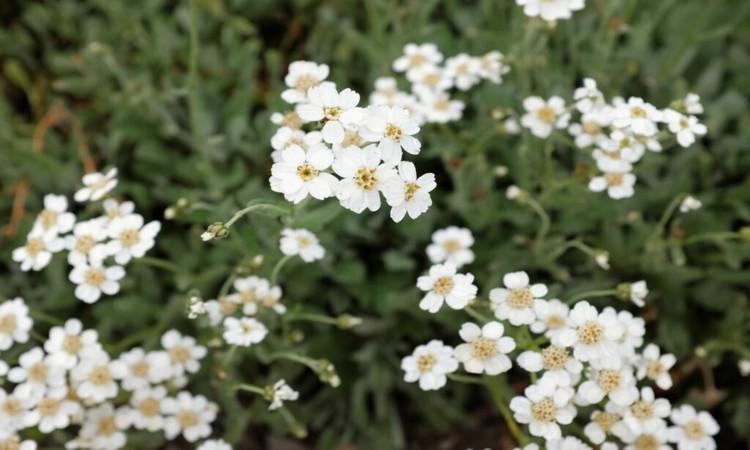 white yarrow plants