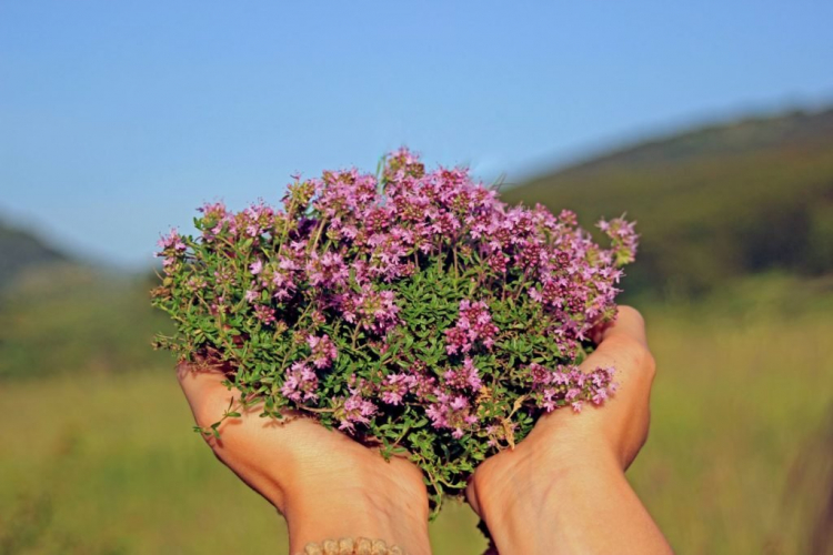 wild thyme can be harvested almost all year round