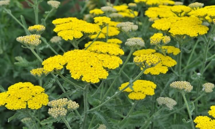 yellow yarrow plants