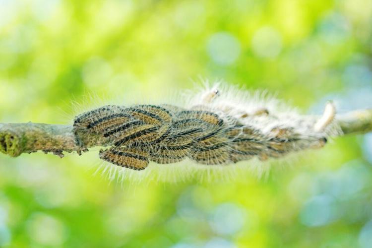 Oak Processionary Moth