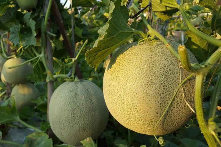 Honeydew Melon plant
