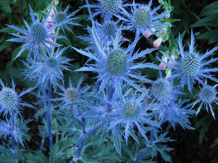 Bluegrass (Eryngium)