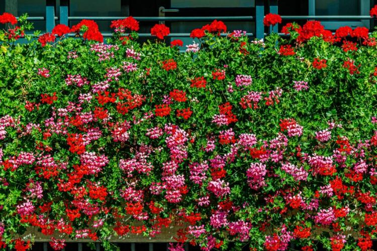 Geraniums are particularly eye-catching on the balcony
