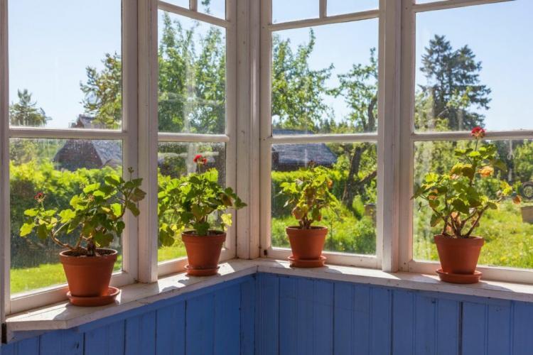 Geraniums feel good on a light window sill