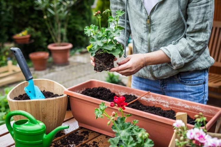 Geraniums like large planters