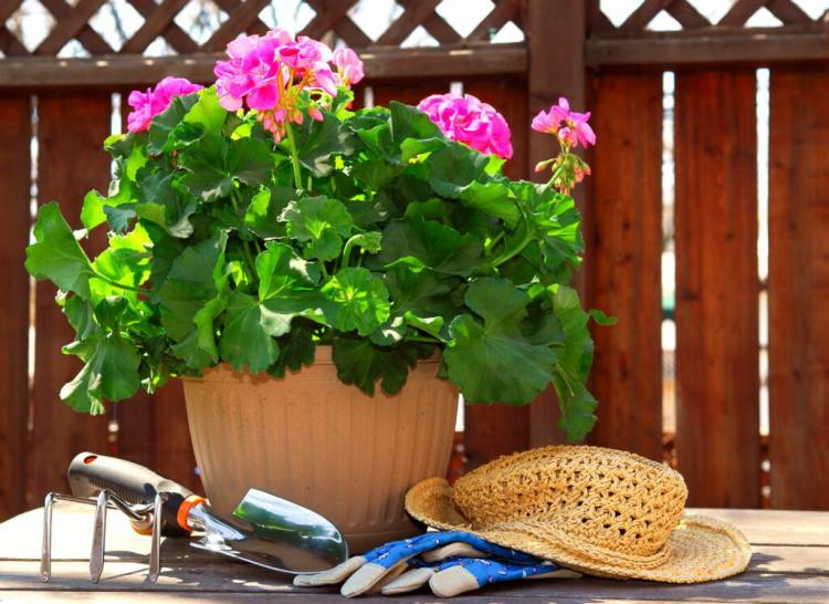 Geraniums prefer large planters
