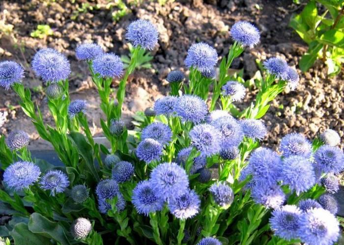 Globularia (globeflower)