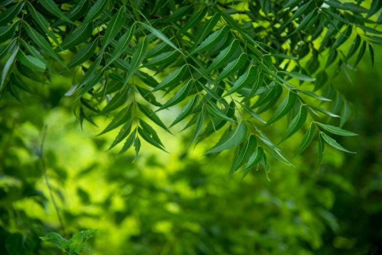 Neem oil is obtained from the seeds of the neem tree