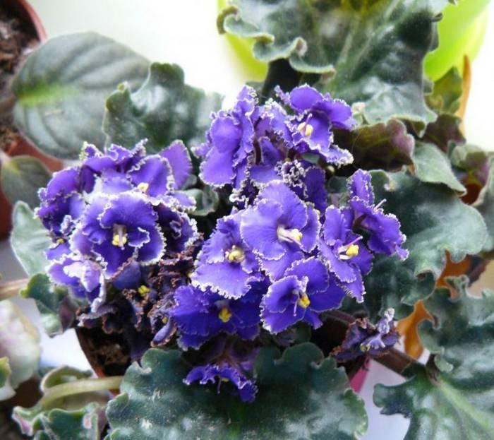Senpolia (African violet)