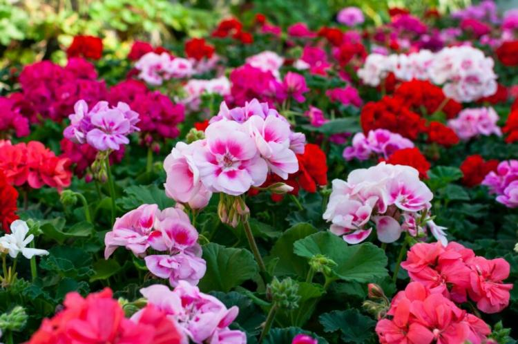There are noble geraniums with different flower colors