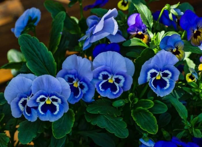 Viola (pansies)
