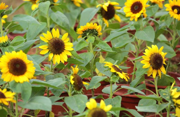 When growing in pots, it is advisable to buy a variety that remains small