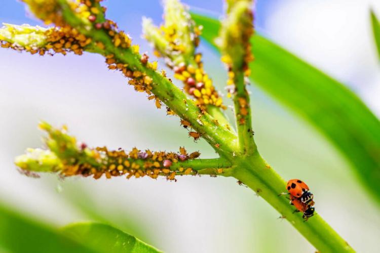Oleander pests